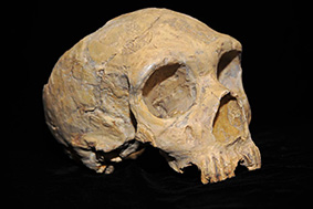 The Neanderthal skull discovered at Forbes' Quarry in 1848. Photo: AquilaGib, Wikimedia Commons.